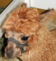 Bovine Viral Diarrhea Virus in Camelids